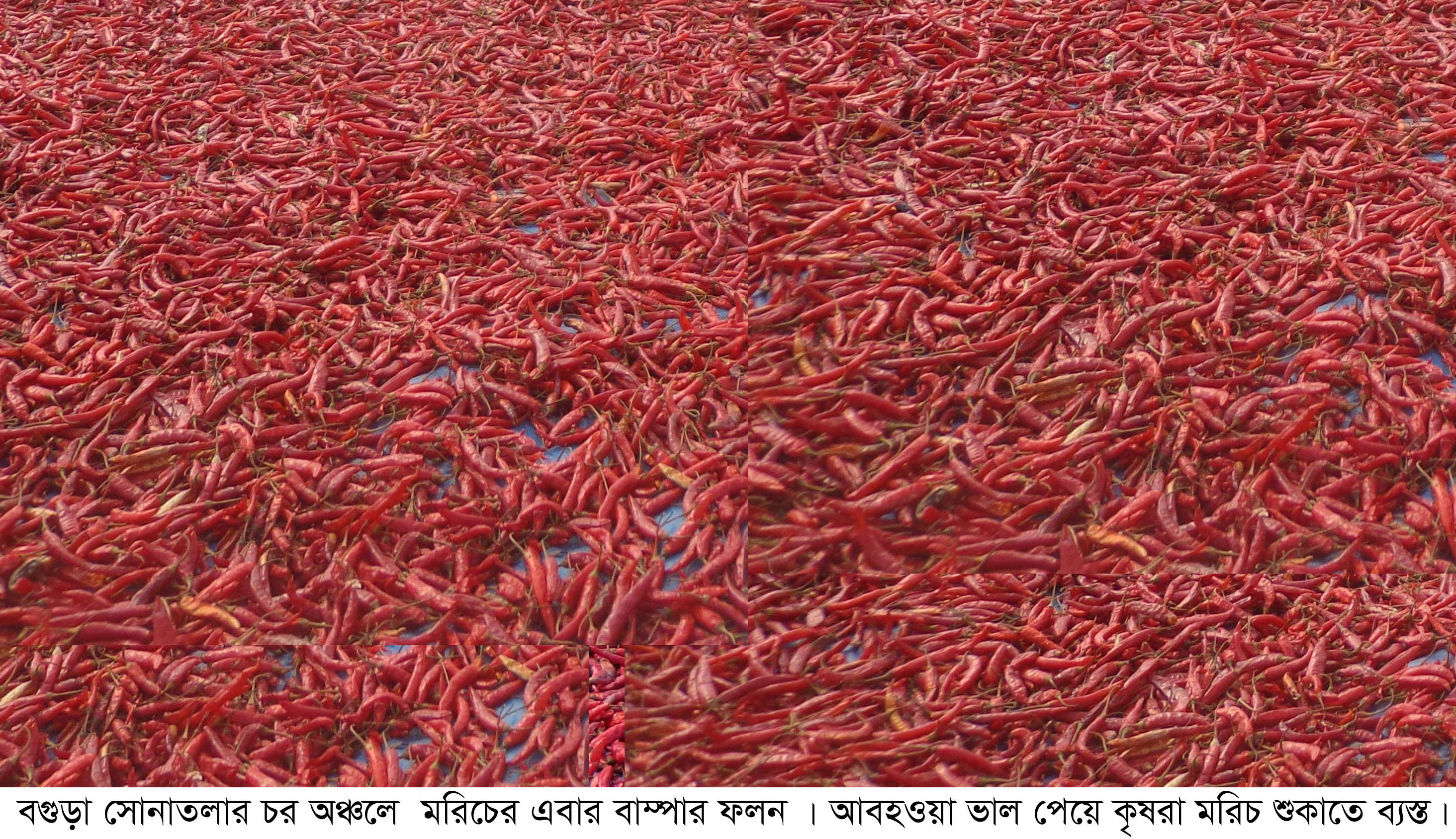 সোনাতলায় মরিচের বাম্পার ফলন